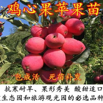 这是一张关于锦绣苹果苗 0.5~1米的产品图片