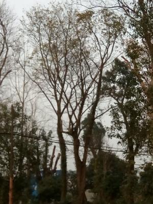 安徽省黄山市休宁县糖槭树