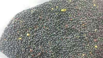 新疆维吾尔自治区伊犁哈萨克自治州昭苏县油菜籽