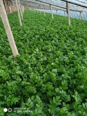 山东省潍坊市昌乐县玻璃脆芹菜 50~55cm 大棚种植 0.5~1.0斤