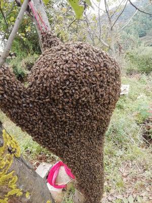 云南省昆明市呈贡区中华蜜蜂