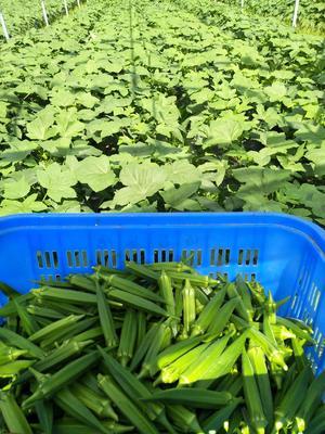 海南省三亚市天涯区水果秋葵 8 - 10cm