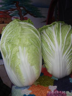 河南省许昌市禹州市黄心大白菜 3~6斤 净菜