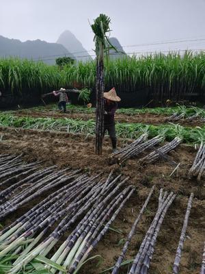 广西壮族自治区来宾市兴宾区黑皮甘蔗 2.5 - 3m 4 - 5cm