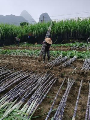 广西壮族自治区来宾市兴宾区黑皮甘蔗 2 - 2.5m 3 - 4cm