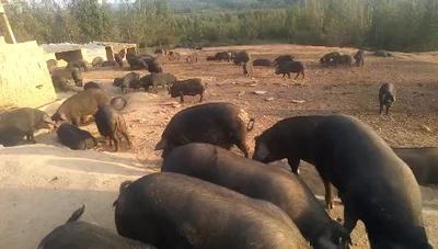 山东省济宁市兖州区生态野猪 60斤以上 统货
