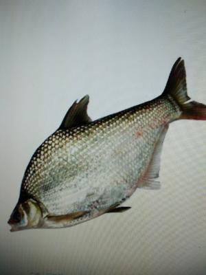 湖南省长沙市望城县池塘鳊鱼 人工养殖 0.5公斤以下