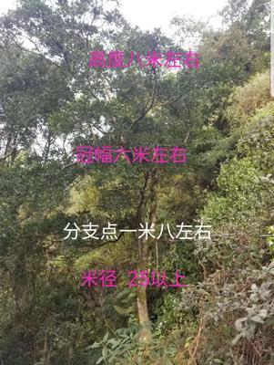 四川省黄杨瓜子球