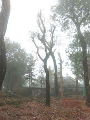 湖南省益阳市赫山区小叶榆树