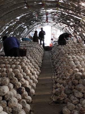 浙江省嘉兴市秀洲区白平菇