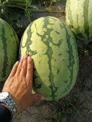 湖北省襄阳市宜城市金城5号西瓜 有籽 1茬 9成熟 10斤打底