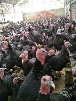 河南省郑州市荥阳市青铜火鸡 10-15斤