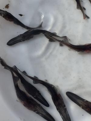 四川省眉山市东坡区鸭嘴鲟 人工殖养 2-4公斤