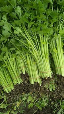 江苏省南通市通州区香芹 55~60cm 大棚种植 0.5斤以下