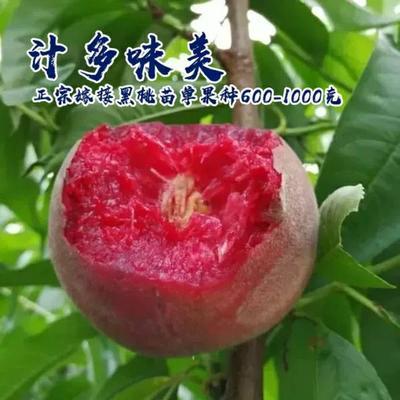 血桃苗 1~1.5米