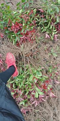 湖南省长沙市浏阳市红叶石楠