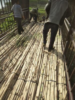 四川省泸州市江阳区青皮甘蔗 3m以上 3 - 4cm
