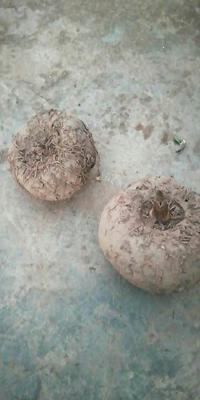 云南省西双版纳傣族自治州勐腊县白魔芋
