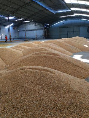 河南省新乡市新乡县混合玉米粒 杂质很少 水份14%-16%