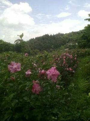 贵州省贵阳市开阳县红花木槿树