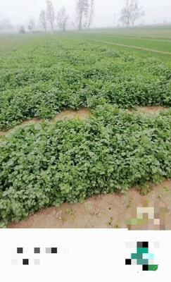 河南省开封市杞县小叶香菜 25~30cm