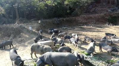 广西壮族自治区百色市平果县巴马香猪 60斤以上