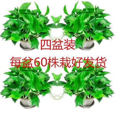 广东省佛山市南海区绿萝