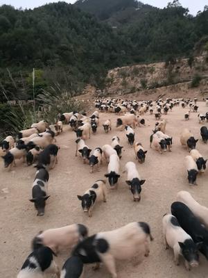 福建省漳州市龙海市巴马香猪 80斤以上