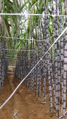 广西壮族自治区百色市隆林各族自治县红甘蔗 3m以上 3 - 4cm