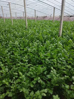 山东省聊城市莘县法国皇后芹菜 50~55cm 大棚种植 0.5~1.0斤