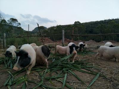 广西壮族自治区崇左市天等县野香猪 40-60斤