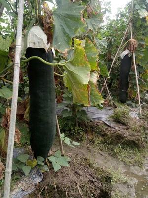 广西壮族自治区玉林市玉州区黑皮冬瓜 20~30斤 吊冬瓜