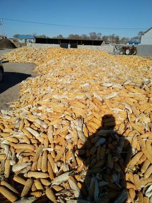 吉林省白城市洮南市玉米湿粮 毛货 水份20%-30%