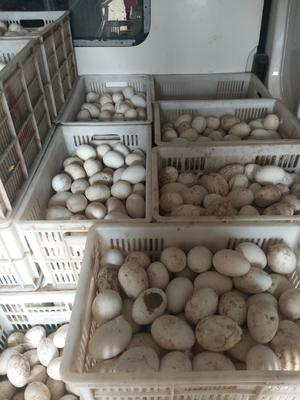 河南省濮阳市濮阳县种鹅蛋 孵化 散装