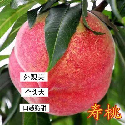中华寿桃桃树苗 0.5~1米