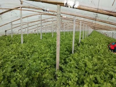 山东省菏泽市曹县玻璃脆芹菜 55~60cm 大棚种植 0.5~1.0斤