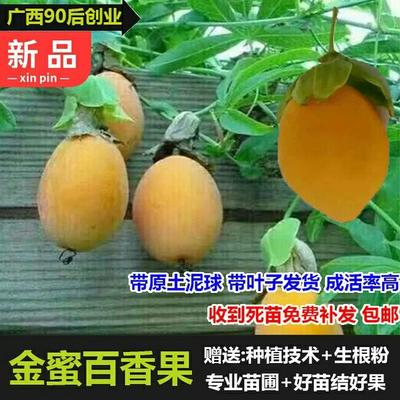 台湾甜蜜蜜百香果苗