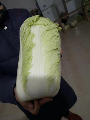 山东省泰安市肥城市黄心大白菜 6~10斤 净菜