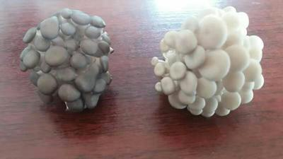 河南省洛阳市洛龙区白平菇