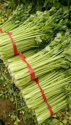 山东省聊城市东昌府区西芹 60cm以上 大棚种植 0.5~1.0斤