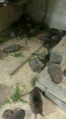 广西壮族自治区桂林市恭城瑶族自治县竹鼠 2-4斤