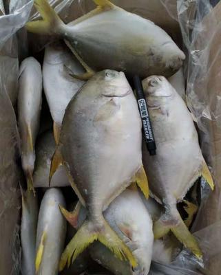广东省广州市海珠区金鲳鱼 野生 0.5公斤以下