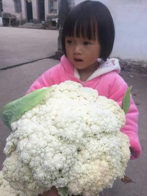 浙江省温州市乐清市松花菜 适中 3~4斤