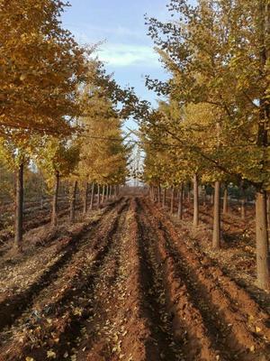 山东省烟台市莱州市银杏实生树