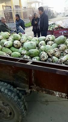 河南省南阳市新野县青皮萝卜 1.0斤