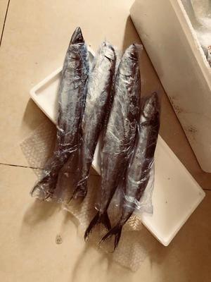 山东省日照市东港区冻鲅鱼