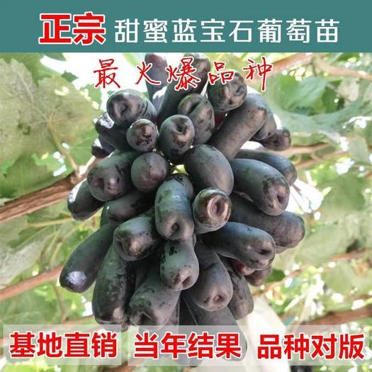 蓝宝石葡萄苗 嫁接苗  包品种包成活