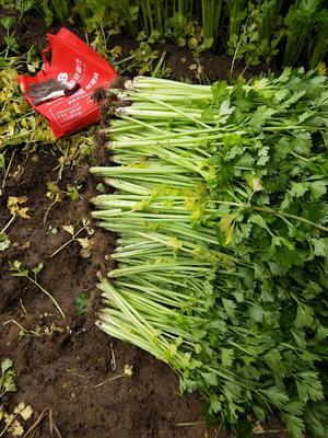 山东省潍坊市安丘市西芹 60cm以上 0.5~1.0斤 大棚种植