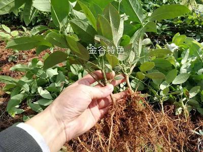 江西省吉安市遂川县九月黄金蕉苗