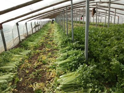 山东省菏泽市曹县玻璃脆芹菜 60cm以上 大棚种植 1.5~2.0斤